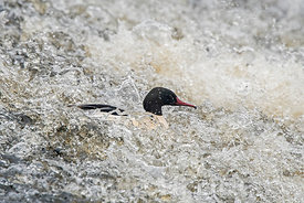 Goosander (Common Merganser) Mergus merganser male going down weir River Nith Dumfries Scotland