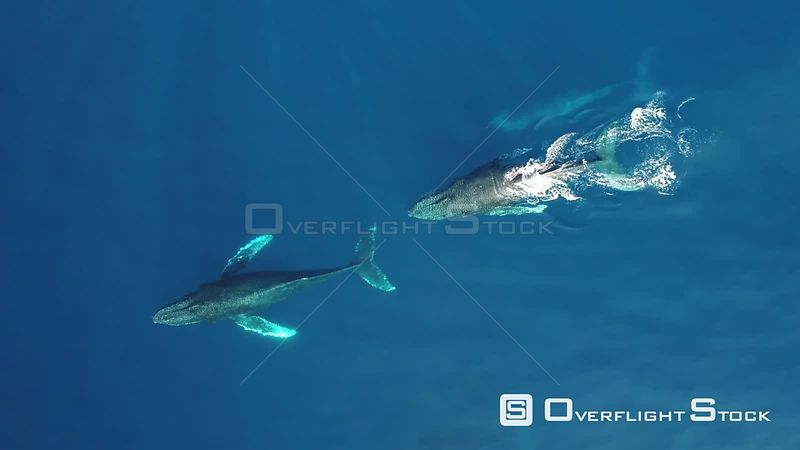 Aerial view of three Humpback whales (Megaptera novaeangliae) at surface, Gorda Banks, Baja California, Mexico, 2017.