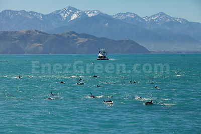 Dusky dolphins swimming in New-Zealand