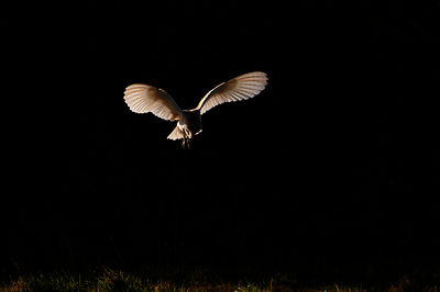 Barn Owl Tyto alba Norfolk late winter