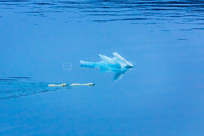 Polar bear (Ursus maritimus) mother and large second year cub swim across calm water, Scott Inlet, Baffin Island, Canadian Ar...