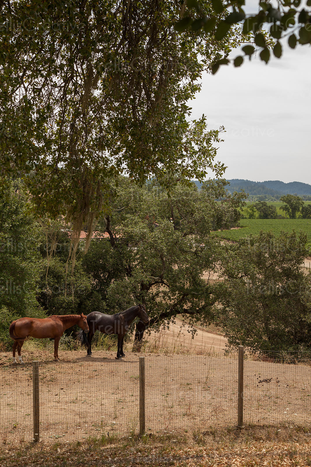 Two horses standing near fence in a vineyard