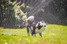 happy collie shaking under garden sprinkler