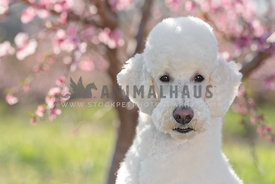 close up of large white poodle in front of blooming peach trees