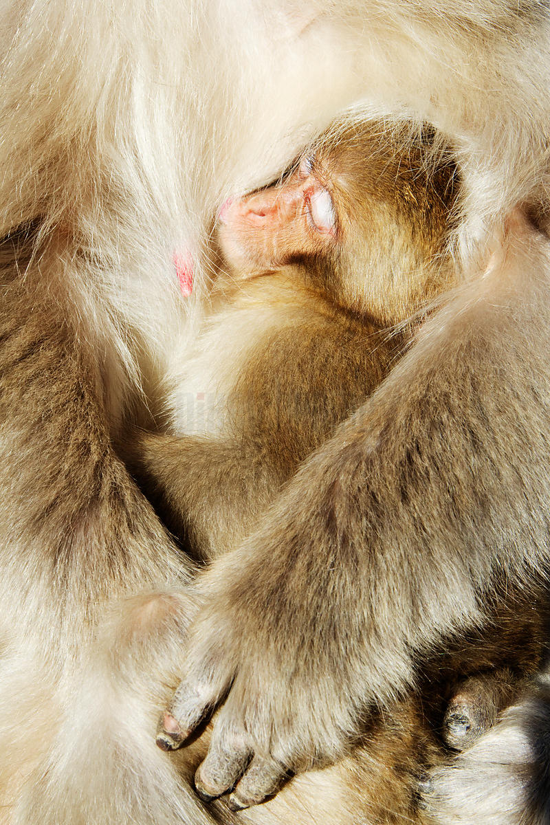 Baby Japanese Macaque Snuggling in Mother's Arms