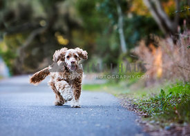 Older cocker spaniel running towards camera