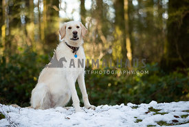 Portrait of yellow lab dog sitting in snow in the forest