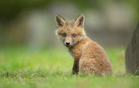 Red Fox Cub, London