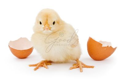 A baby chicken hatched from a brown egg