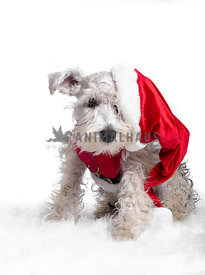 white Schnauzer puppy dressed like santa claus with falling hat on white background