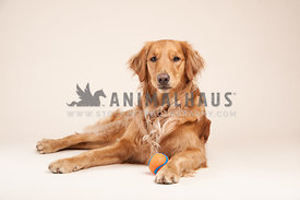 young healthy golden retriever laying upright on a gray background with a chuckit ball
