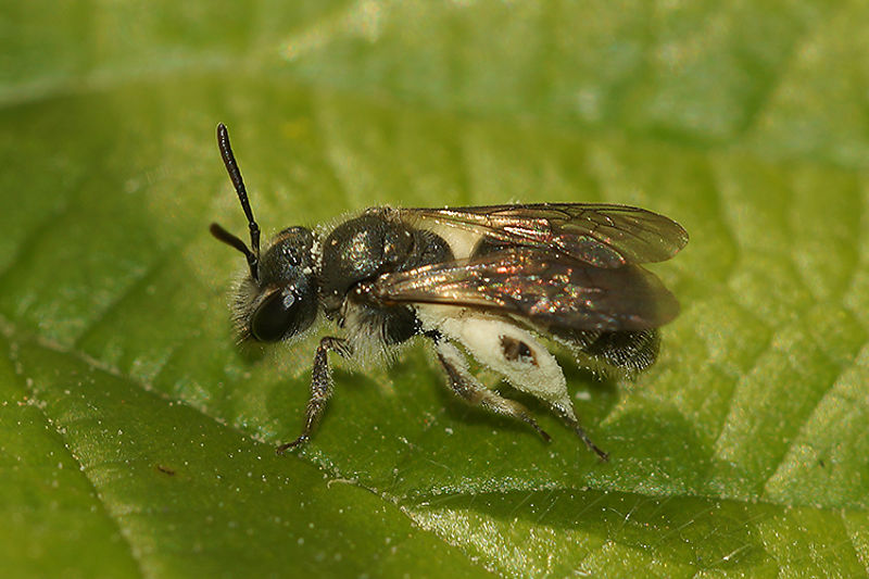 Andrena viridescens, female