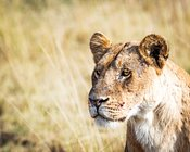 Closeup Lioness - Copyspace in Blurred Background