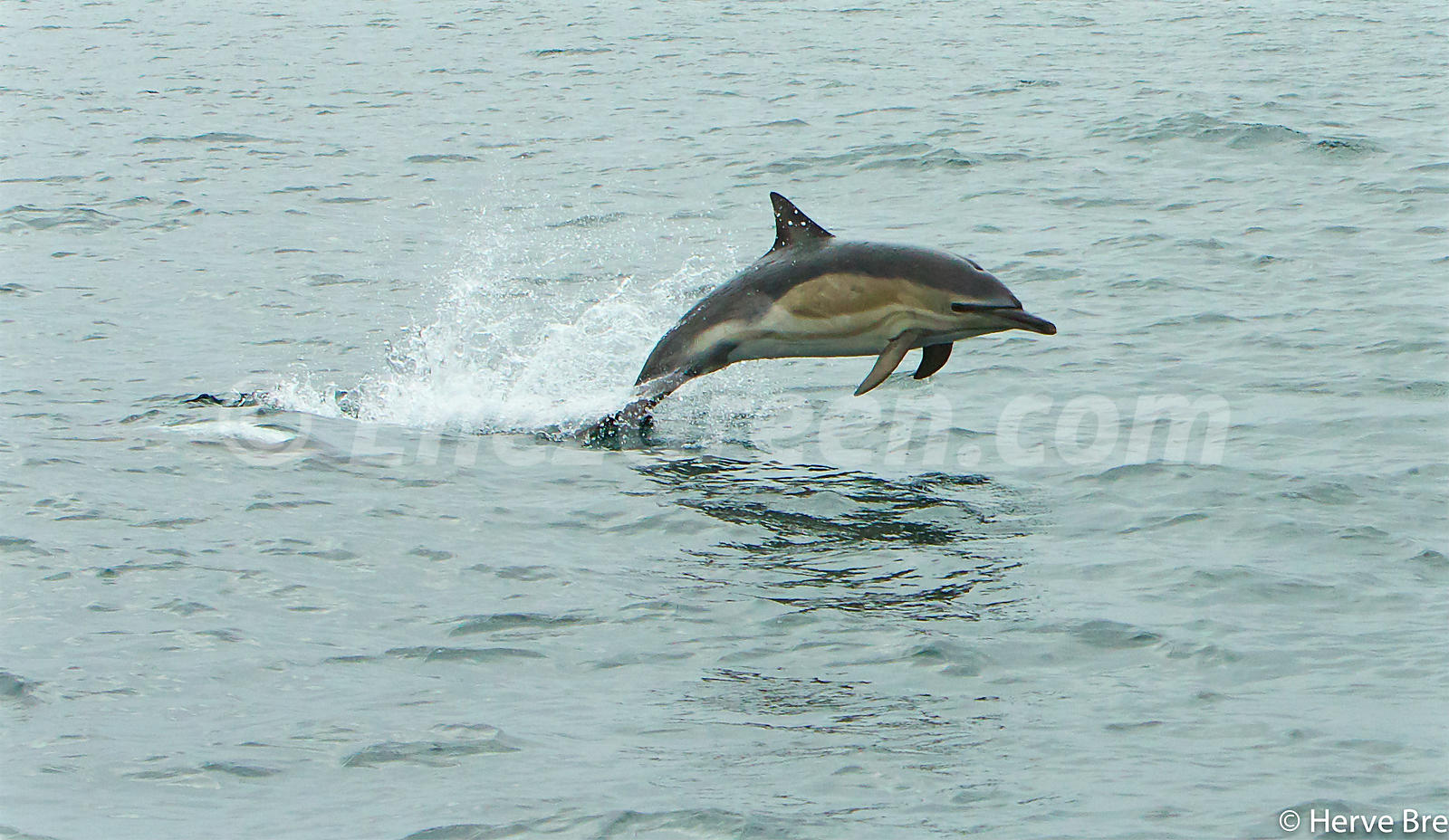 Common Dolphin in The Minch Scotland