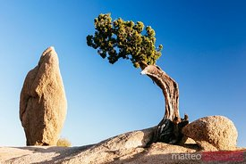 Tree and rock, Joshua tree NP, California, USA