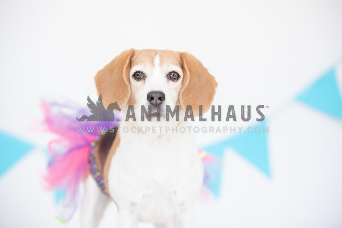 close up of beagle's face wearing a pink and purple tutu