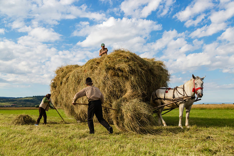 Farm Workers Loading Fresh-cut Hay on to a Horse-drawn Cart