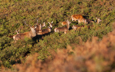 Red Deer below White Edge