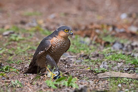 Eurasian Sparrowhawk Accipiter nisus male with Great Tit taken as it was collecting nest material North Norfolk April