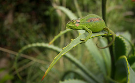 Cape Dwarf Chameleon, South Africa