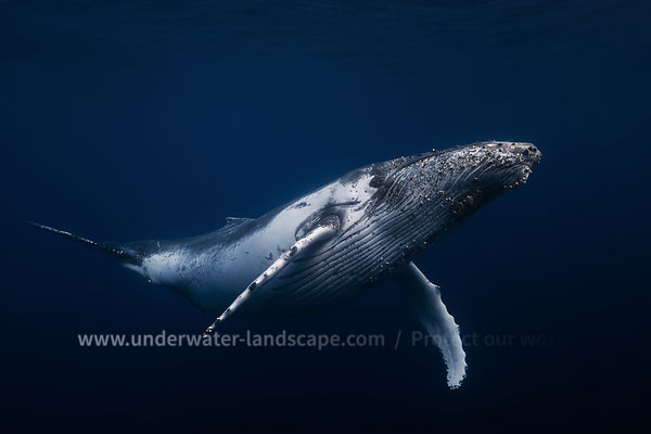Humpback whale in the blue