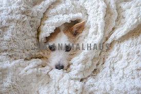 jack russell terrier wrapped up in blankets