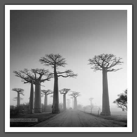 Avenue of the Baobabs -  Black and White Print (MAD0502SQBW)BP