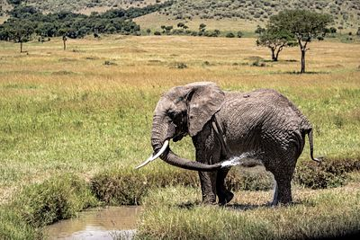 Elephant Spraying Water Bathing in Kenya Africa