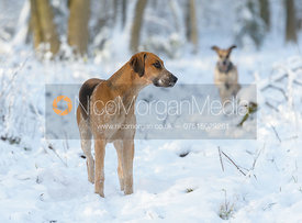 Cottesmore hounds in Owston Wood in the snow