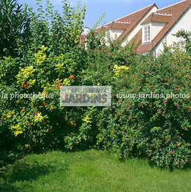 Bush, Fruiting, Japanese rose, Natural mixed hedge, Plant, Rugosa rose, Ornamental fruit, Plants, Square, Variegated hedge