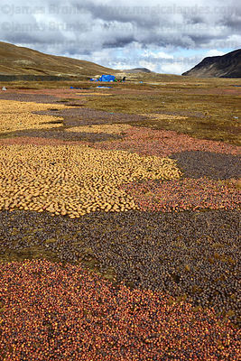 Potatoes laid out on the ground for freeze drying process that turns them into chuño , La Cumbre , Bolivia