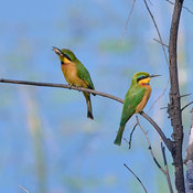 Little bee-eater with moth catch