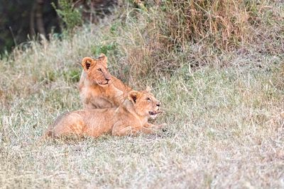 Lion Cubs Lying in Grass of Kenya