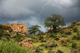 Lightning strike out of a dark stormy sky behind two baobab trees on a green grassy hill stewn with quartz boulders