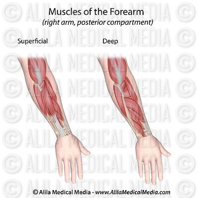Posterior forearm muscles unlabeled.