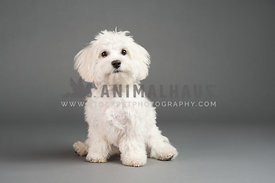 white maltese puppy sitting on a gray background