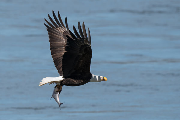 Eagle-Fishing-0901