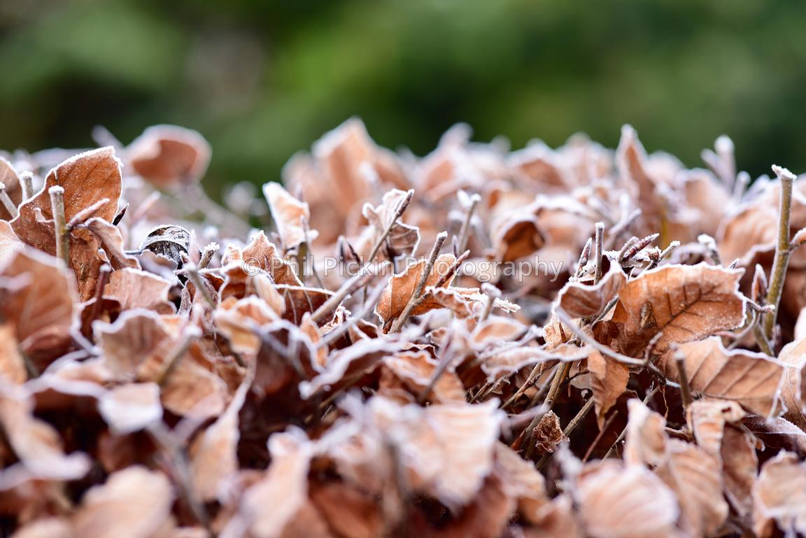Frost covered beech hedge