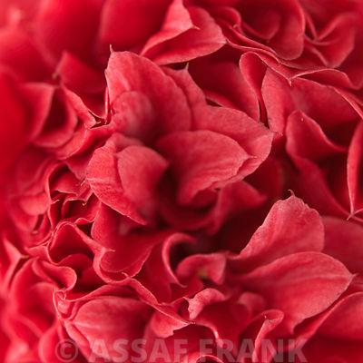 Red camellia (Camellia japonica), close-up