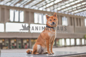 Shiba inu sitting on bench looking at camera