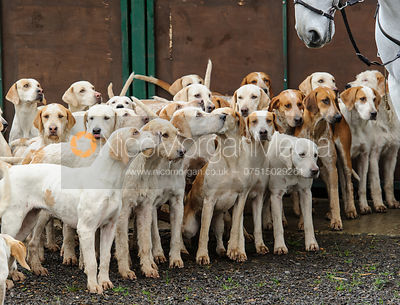 Cottesmore Hunt fox hounds