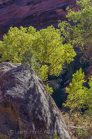 Cottonwoods in Canyon Below Moon House Ruin