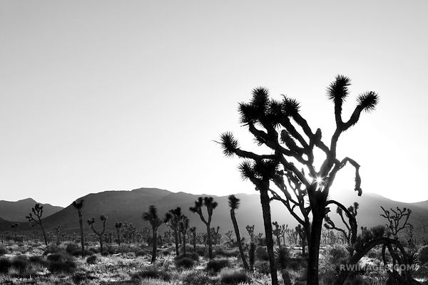 SUNSET JOSHUA TREE NATIONAL PARK CALIFORNIA BLACK AND WHITE