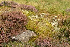Heather and other heathland plants growing in mid summer on a hillside near the Ben Lawers mountain range in Perthshire, Scot...
