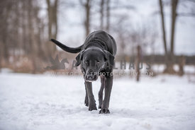 Old black lab walks slowly across the snow