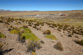 Yareta plants (Azorella compacta) and tola bushes (Parastrephia lepidophylla) on hillside, Las Vicuñas National Reserve, Regi...