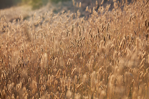 Wild dry grass under the sunlight