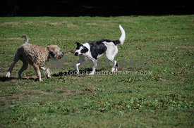 Two dogs play tug of war with a stick