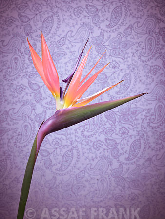 Single Heliconia Flower