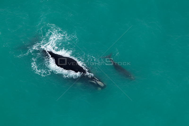 Aerial view of Southern right whales (Balaena glacialis australis) mother and calf at surface, Cape Agulhas, South Africa, Au...